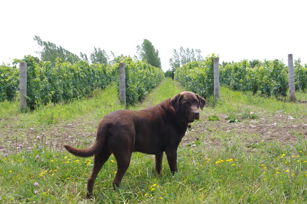 Woody the Chocolate Lab stands guard in front of the Pinot Noir